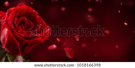 Red rose in romantic background.
