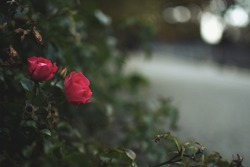 Red rose in the evening gloom