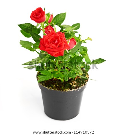 Red Rose in the flower pot #114910372