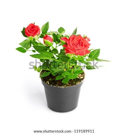 Red Rose in the flower pot #119189911