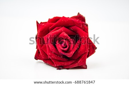 Red rose is on isolate background object. The one come from Asia. Spacial options are herbal medicine, rose tea, true love and forever of love.