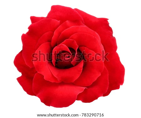 red rose isolate on white background #783290716