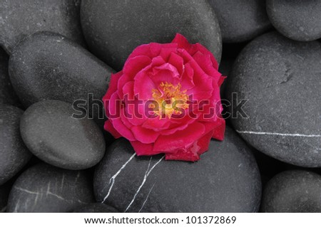 red rose isolated on wet stones