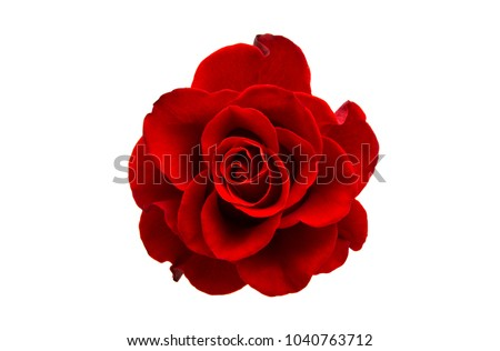 red rose isolated on white background #1040763712