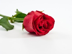Red rose isolated on white background. Love symbol. Valentine's day present