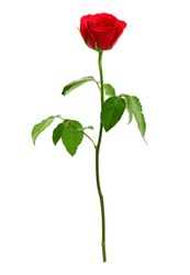 Red rose isolated on white. Love, romance and valentine's day