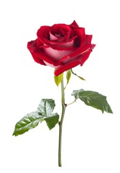 red rose. isolation
