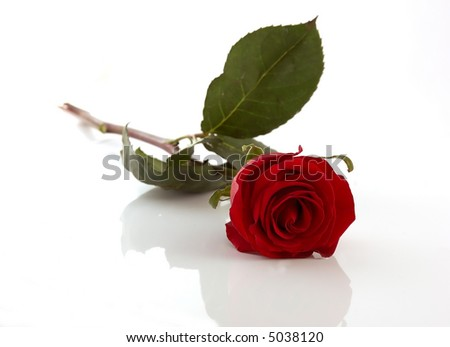 Red rose laying on a mirror, Isolated On White
