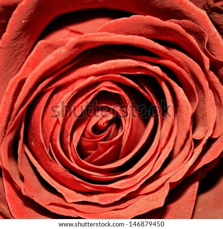 stock-photo-red-rose-macro-146879450.jpg