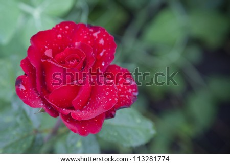 red rose on a background of green