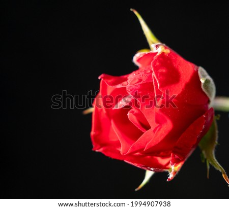 Red rose on a black background close-up. Dew on a rose. Photo stock ©