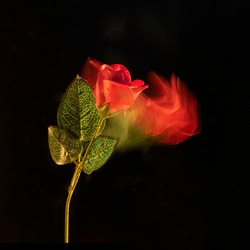 Red rose on a black background with a lit red trail, abstract concept, long exposure