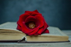 Red rose on a book with black background and wooden table