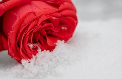 Red rose on a snowy surface on a winter day surrounded by small leaves. Rose in the snow outdoors on a winter day. A flower in the snow on a sunny day.