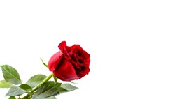 Red rose on a white background. A beautiful romantic flower, a symbol of love. Space for your text. isolate.