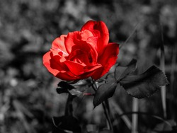 Red rose on dark background, a beautiful flower with highcontrast