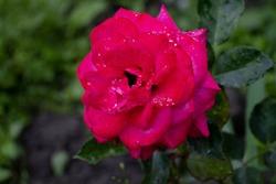 Red rose petals with rain drops closeup. Red Rose.