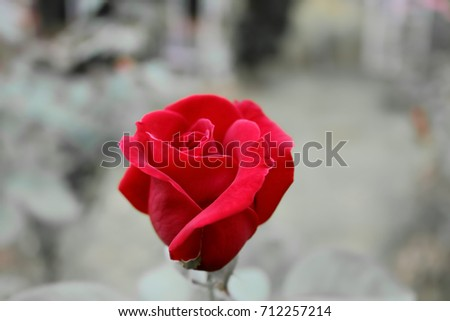 Red rose.Roses are one of the most popular flowers grown in Asia. People grow beautiful plants, decorate the garden, decorate the house, decorate the place, commercial planting, such as to extract per #712257214