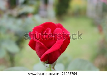 Red rose.Roses are one of the most popular flowers grown in Asia. People grow beautiful plants, decorate the garden, decorate the house, decorate the place, commercial planting, such as to extract per #712257541