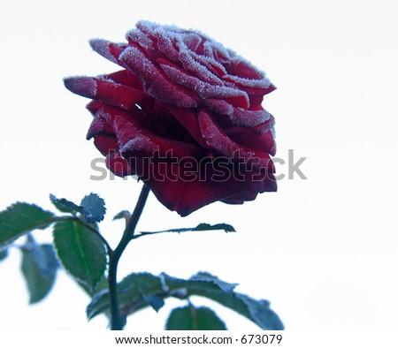Red Rose under hoar-frost