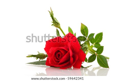 Red rose with buds and water drops