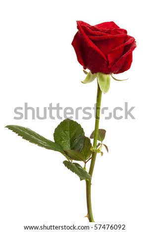 red rose with dew drops isolated on white