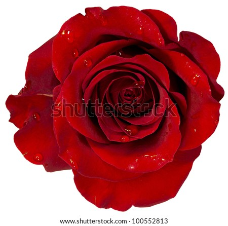 red rose with dew isolation on white