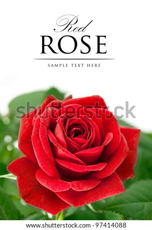 red rose with green leaf isolated on white background