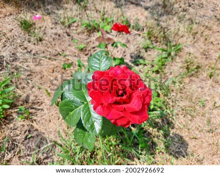 Red rose with green leaves grows from the ground.
