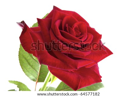 Red rose with green leaves on a white background. #64577182