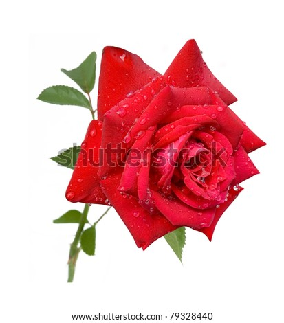 Red rose with leaves and rain drops isolated on white