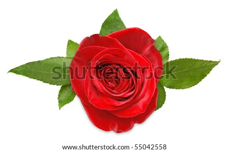 stock photo : Red rose with leaves isolated on white