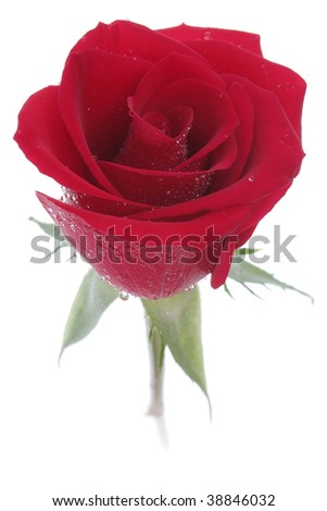 Red rose with rain dew. Isolated on white and contains clipping path. - stock photo