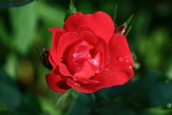 Red rose with raindrops. Roses are the flowers of love. Roses are beautiful and delicate flowers. Roses are a holiday of beauty and hope.