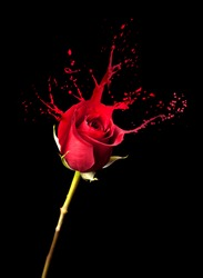 red rose with red splashes on black background