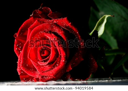 red rose with strong contrast on black background