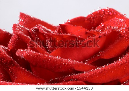 red rose with water