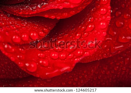 Red rose with water drop. Soft focus