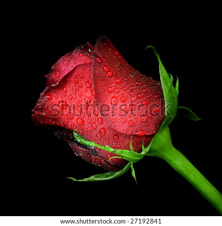 Stock Photo red rose with water drops on black background