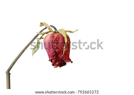 red rose wither on branch in white background