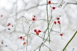 Red rosehip berries, covered with snow, on the thin green branches of the shrub in winter. Close-up. Blurred white-gray neutral background. Juicy natural colors. Natural light, horizontal banner.