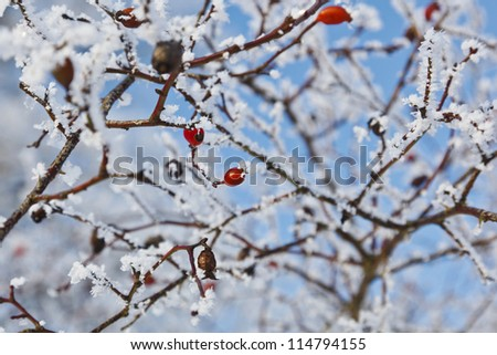 Red rosehip berries with frost