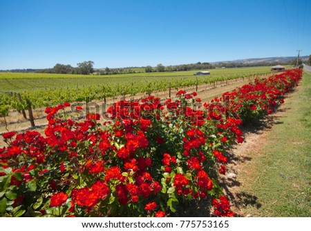 Stock Photo Red roses bloom alongside wine grapes on McMurtrie Road, McLaren Vale, South Australia