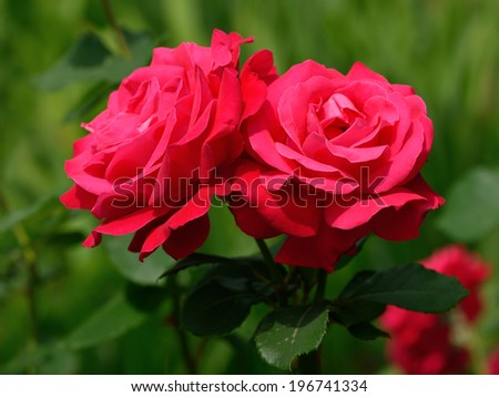 Red roses closeup in garden #196741334