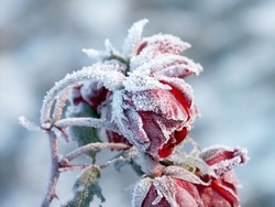 Red roses covered with morning frost. Photo taken in October.