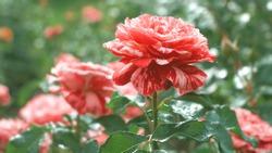 Red Roses flower bloming in roses garden.