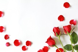 Red roses flower blooming around by red rose petals, isolated on white background