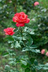 Red roses flowers blooming in summer garden, beauty in nature