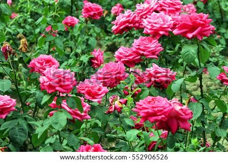 red roses garden spring season #552906526