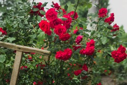 Red roses. Garden with flowers, roses. Home garden concept with flowers. Photo with blurry background.